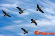 [Teambuilding] Bài học từ bầy ngỗng